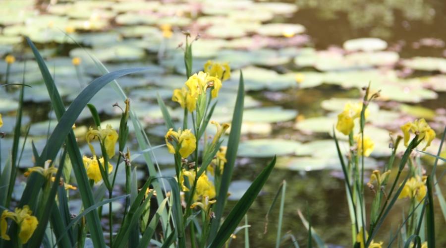 Wasserlilien 900×500